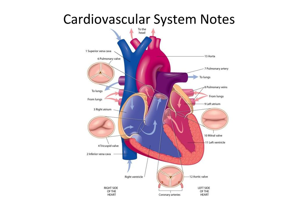 Cardiovascular System Notes   ppt download