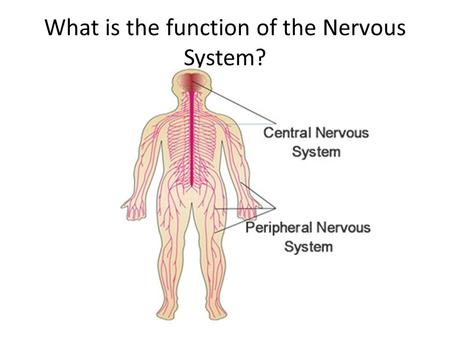 What is the function of the Nervous System?. The nervous system is made of structures that control the actions and reactions of the body in response to.