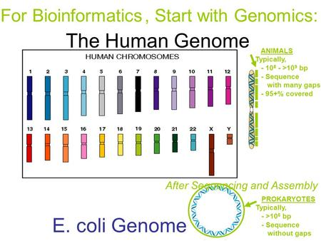 E. coli Genome PROKARYOTES Typically, - >10 6 bp - Sequence without gaps ANIMALS Typically, - 10 8 - >10 9 bp - Sequence with many gaps - 95+% covered.
