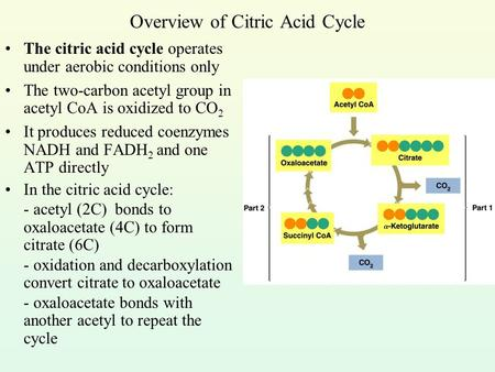 Overview of Citric Acid Cycle The citric acid cycle operates under aerobic conditions only The two-carbon acetyl group in acetyl CoA is oxidized to CO.
