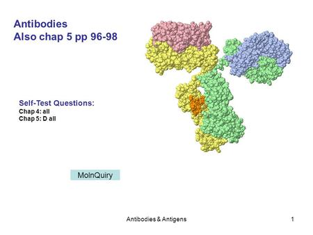 Antibodies & Antigens1 Antibodies Also chap 5 pp 96-98 Self-Test Questions: Chap 4: all Chap 5: D all MolnQuiry.