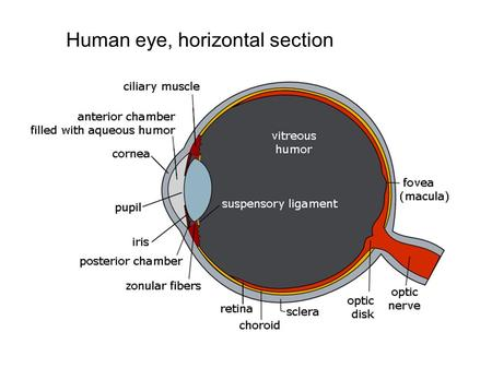 "Human eye, horizontal section.  ""V1"" Lateral Geniculate Nucleus The retinal bipolar cells send impulses to the."