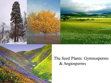 The Seed Plants: Gymnosperms