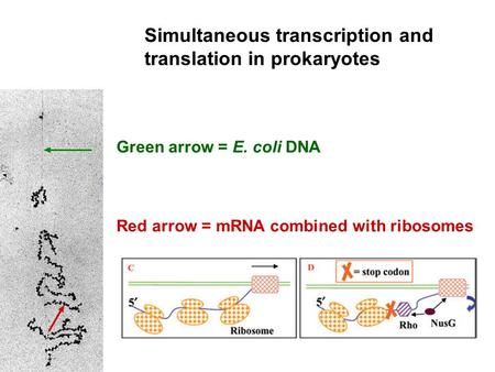 Simultaneous transcription and translation in prokaryotes Green arrow = E. coli DNA Red arrow = mRNA combined with ribosomes.