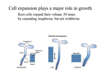 Cell expansion plays a major role in growth Root cells expand their volume 50 times by expanding lengthwise but not widthwise.