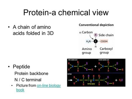 Protein-a chemical view A chain of amino acids folded in 3D Picture from on-line biology bookon-line biology book Peptide Protein backbone N / C terminal.