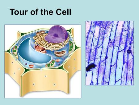 "Tour of the Cell. Robert Hooke (1635-1703) Robert Hooke -- 1665: examined thinly sliced cork and coined term ""cell"""