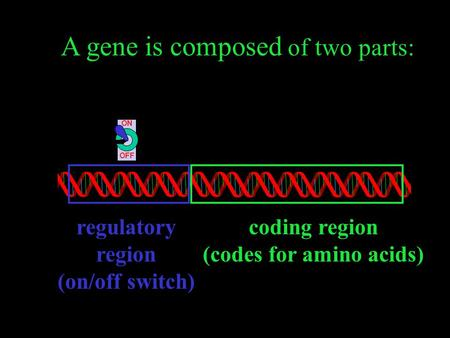 ON OFF regulatory region (on/off switch) coding region (codes for amino acids) A gene is composed of two parts: