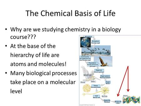 The Chemical Basis of Life Why are we studying chemistry in a biology course??? At the base of the hierarchy of life are atoms and molecules! Many biological.