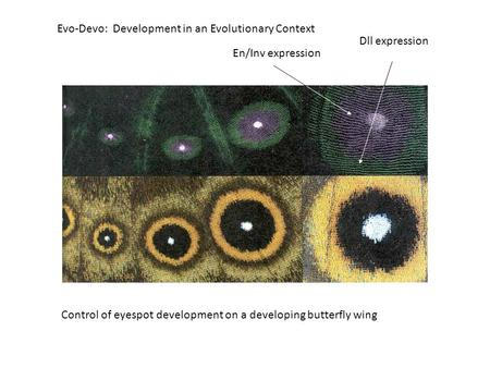 Evo-Devo: Development in an Evolutionary Context Control of eyespot development on a developing butterfly wing En/Inv expression Dll expression.