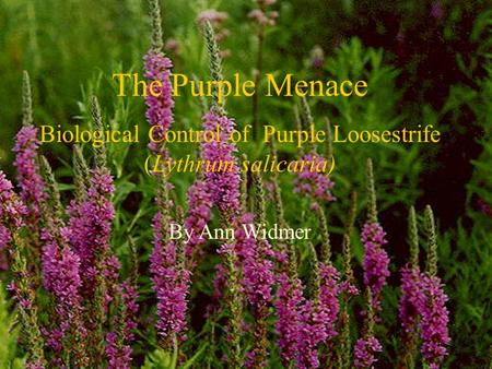 The Purple Menace Biological Control of Purple Loosestrife (Lythrum salicaria) By Ann Widmer.