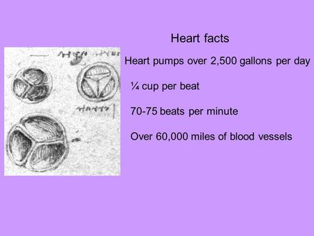Heart facts Heart pumps over 2,500 gallons per day ¼ cup per beat