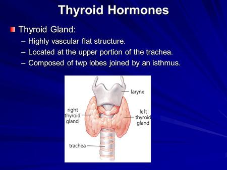 Thyroid Hormones Thyroid Gland: –Highly vascular flat structure. –Located at the upper portion of the trachea. –Composed of twp lobes joined by an isthmus.