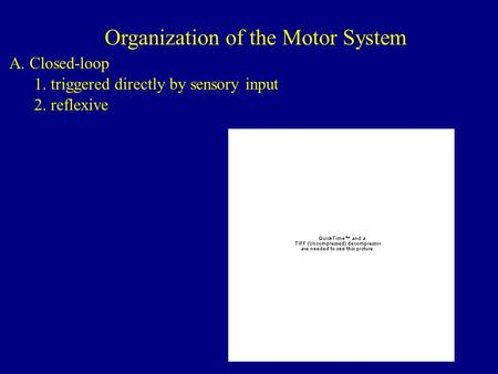 Organization of the Motor System A. Closed-loop 1. triggered directly by sensory input 2. reflexive.