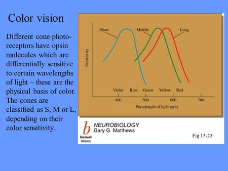 Color vision Different cone photo- receptors have opsin molecules which are differentially sensitive to certain wavelengths of light – these are the physical.