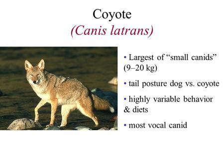 "Coyote (Canis latrans) Largest of ""small canids"" (9–20 kg) tail posture dog vs. coyote highly variable behavior & diets most vocal canid."