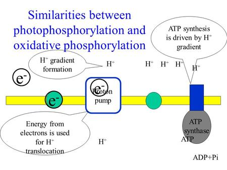 ATP synthesis is driven by H+ gradient H+ gradient formation H+ H+ H+