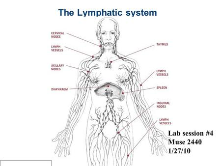 The Lymphatic system Lab session #4 Muse 2440 1/27/10.