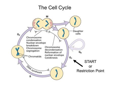 START or Restriction Point The Cell Cycle. The Main Jobs of the Cell Cycle: 1.To accurately transmit the genetic information! 2.To maintain normal ploidy;
