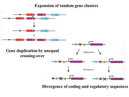 Expansion of tandem gene clusters Gene duplication by unequal crossing-over Divergence of coding and regulatory sequences.