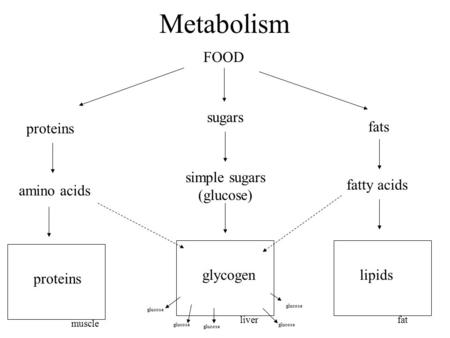 Metabolism FOOD proteins sugars fats amino acids fatty acids simple sugars (glucose) muscle proteins liver glycogen fat lipids glucose.