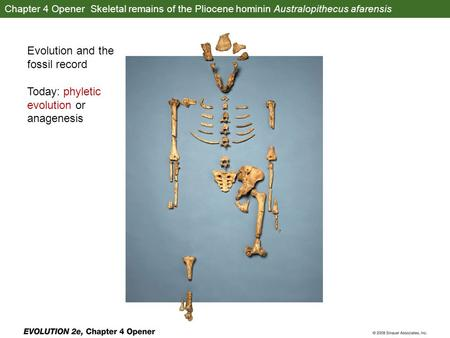 Chapter 4 Opener Skeletal remains of the Pliocene hominin Australopithecus afarensis Evolution and the fossil record Today: phyletic evolution or anagenesis.