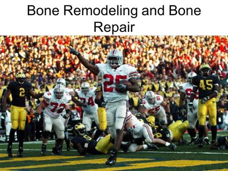 Bone Remodeling and Bone Repair. Bone Fractures (Breaks) Bone fractures are classified by: –The position of the bone ends after fracture –The completeness.