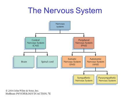 The Nervous System © 2004 John Wiley & Sons, Inc.