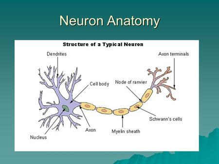 Neuron Anatomy. Neurons  Neuron is a nerve cell that communicates with the entire body (glands, muscles…).  Cell Body produces energy for the cell to.