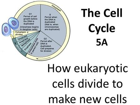 The Cell Cycle 5A How eukaryotic cells divide to make new cells.