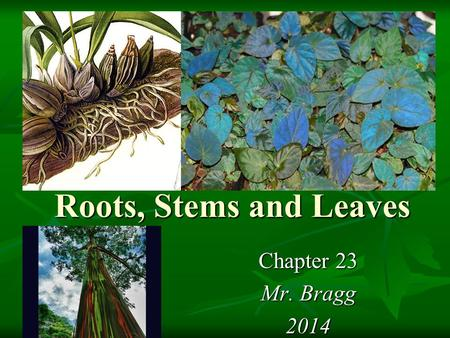 Roots, Stems and Leaves Chapter 23 Mr. Bragg 2014.