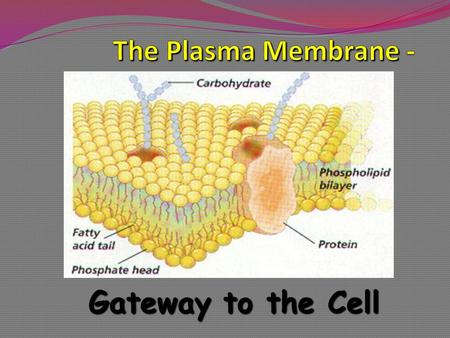 Gateway to the Cell. Cell Membrane flexible The cell membrane is flexible and allows a unicellular organism to move.