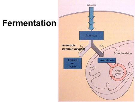 Fermentation Glycolysis Review Glycolysis and Respiration Glycolysis –Creates: ATP, Pyruvate, NADH –Leads to either: 1)Aerobic Respiration  With oxygen.