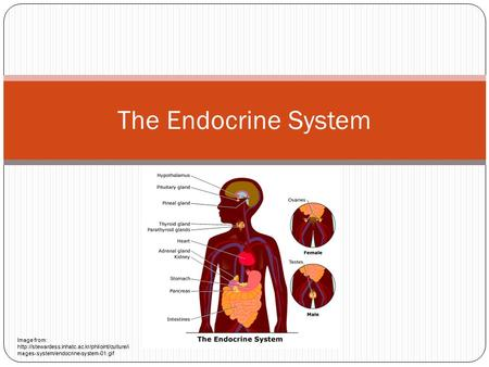 The Endocrine System Image from:  mages-system/endocrine-system-01.gif.