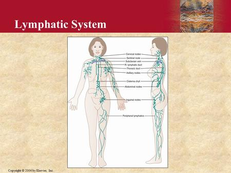 Copyright © 2006 by Elsevier, Inc. Lymphatic System.