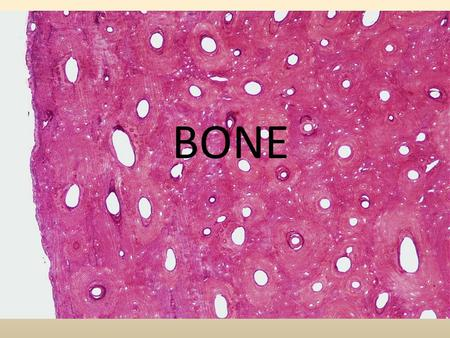 BONE. Support. Bone is hard and rigid; cartilage is flexible yet strong. Cartilage in nose, external ear, thoracic cage and trachea. Ligaments- bone to.
