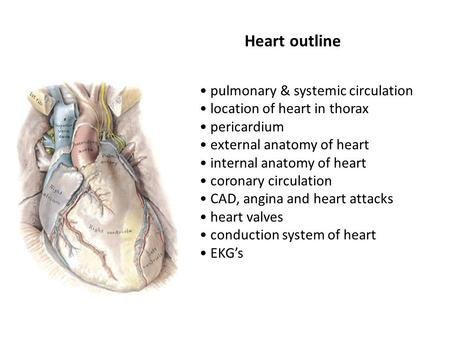 Heart outline pulmonary & systemic circulation