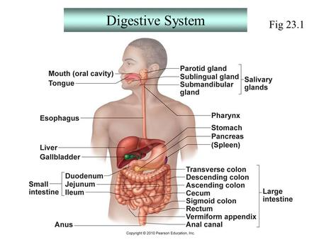 Exercise 38 Digestive System Anatomy Functions Of The