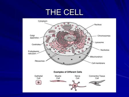 THE CELL. Cell Theory All organisms are composed of cells All cells come from pre-existing cells Cells are the basic unit of structure and function of.