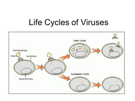 Life Cycles of Viruses.