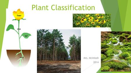 Plant Classification Mrs. McIntosh 2014. How are plants classified? 1. By how they transport (move) water 2. By how they reproduce.