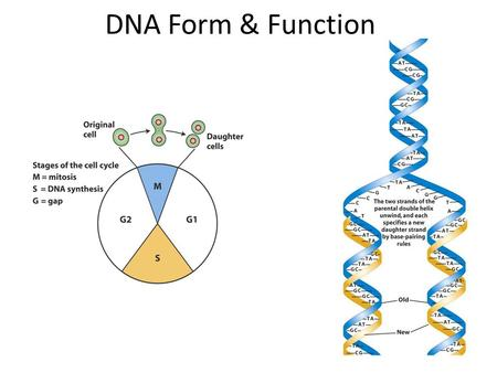 DNA Form & Function.