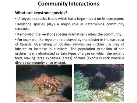 Community Interactions What are keystone species? A keystone species is one which has a large impact on its ecosystem. Keystone species plays a major role.