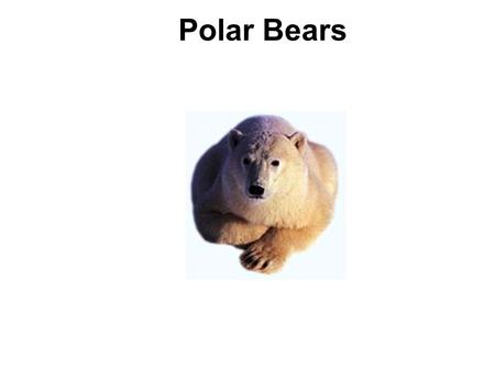 Polar Bears. Polar Bears like the cold. Some live at the North Pole. Some live in Canada and Alaska.