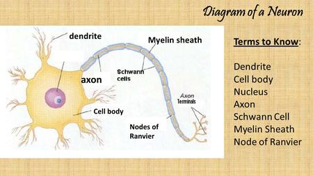 Diagram of a Neuron Terms to Know: Dendrite Cell body Nucleus Axon Schwann Cell Myelin Sheath Node of Ranvier dendrite Myelin sheath axon Cell body Nodes.