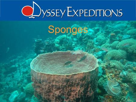 "1 Odyssey Expeditions - Sponges Sponges. 2 Odyssey Expeditions - Sponges Introduction Phylum Porifera ""pore bearer"" Aquatic and mostly marine Sessile."