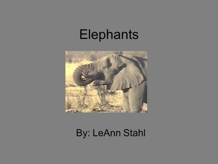 Elephants By: LeAnn Stahl. Interesting Facts There are 2 types of Elephants: The Asian & the African Elephant. Elephant's trunks can get VERY heavy Elephants.