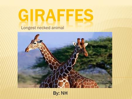 Giraffes Longest necked animal By: NH.