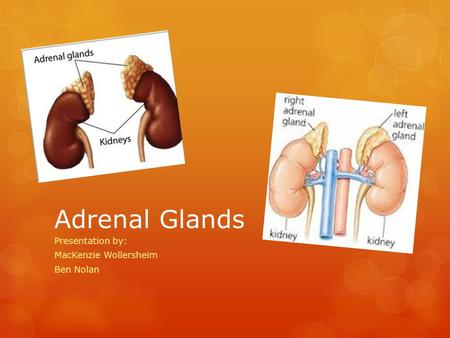 Adrenal Glands Presentation by: MacKenzie Wollersheim Ben Nolan.