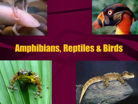 Amphibians, Reptiles & Birds. Amphibia (frogs, salamanders, newts) The First vertebrates to colonize land Evolved from the Lobe-Finned Fish Have lungs.